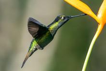 Green Violet-ear (Colibri Thal...