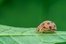 Lovely Ladybird (Coccinella 7-...