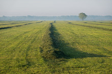 Grassland With Raked Mown Grass For Haymaking