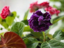 African Violet, SaintpauliasIssued, Gesneriaceac Flower Into A Tight Cluster Around The Tree, Round, Heart-shaped Or Oval, Serrated Edge Or Toothed The Coat Is Short, Soft, Covered All Over The Leaf