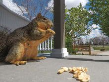Close-up Of Squirrel Eating Pe...