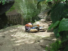 High Angle View Of Mandarin Duck Resting On Lakeshore