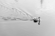 Side View Of A Swan In Calm Water