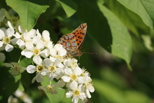 Queen Of Spain Fritillary Issoria Lathonia Eats Nectar On Bird Cherry Flower, Selective Focus. The Underside Of Dwings