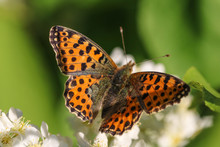 Queen Of Spain Fritillary (Issoria Lathonia) Eats A Nectar On A White Bird Cherry Flower In A Sunny Day, Selective Focus.