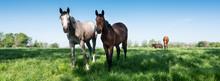 Horses Graze In Fresh Grass Of...