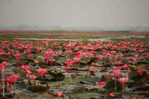 Fototapeta Wonderful nature landscape red pink lotus (water lily) flower lake sea in the morning, beautiful and famous tourist attractive landscape of Kumphawapi, Udon Thani, Thailand. obraz na płótnie