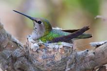 Close-up Of Hummingbird In Nest