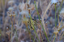 Papilio Hospiton - Ospitone Sardinia Butterfly Corsican Swallowtail