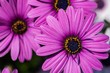 canvas print picture - Close-up Of Purple Coneflower Blooming Outdoors