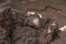 Nine-Banded Armadillo Digging ...