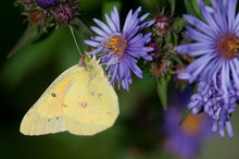 Clouded Sulphur (Common Sulphur)
