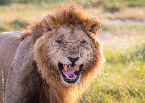 Photographie Male lion growling with angry face