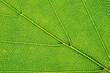 leaf of beech tree isolated