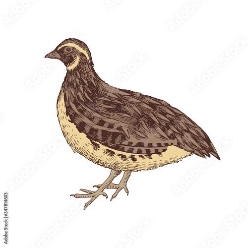 Hand drawn quail Fototapete