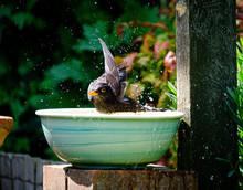 Blackbird In A Bath In The Sun...