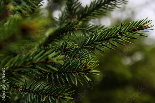 Picea abies Canvas Print