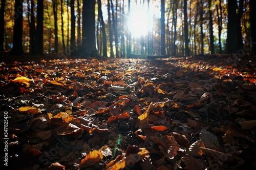 Fototapeta Fallen Leaves Against Trees On Sunny Day During Autumn obraz na płótnie