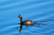Grebe Swimming In Lake