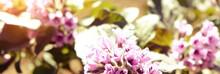 Heliotropium Arborescens Viole...