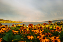 Black Eyed Susans By River Against Cloudy Sky