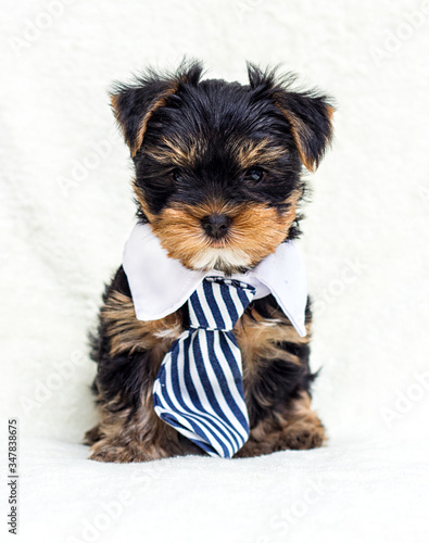 puppy in a tie looks forward