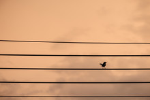 A Sad Bird Cling To The Wires ...