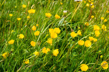 The Yellow Flowers Of The Common Or Meadow Buttercup Ranunculus Acris Growing Among Mixed Grass In An Uncultivated Field