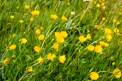 The yellow flowers of the common or meadow buttercup Ranunculus acris growing am Wallpaper Mural