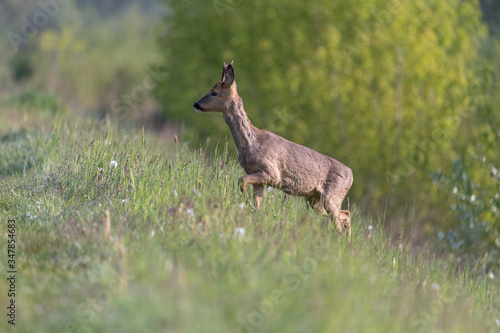 Fototapeta młody jeleń obraz
