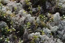 Gray Lichen Cladonia Rangiferina Or Reindeer Grey Lichen. Beautiful  Forest Moss Background