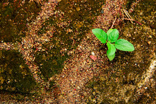 A Small Plant That Survives In A Harsh World, Itself Survives Between Rocks And Dry Sandy Soil, Stay Green And Survive To Be A Winner