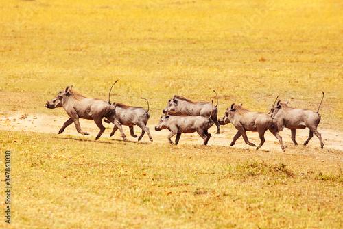 School of Phacochoerus known as warthogs pig family animal running in Kenya sava Canvas Print
