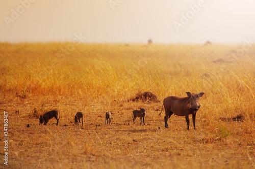 Fotografía Family group of Phacochoerus known as warthogs pig animals in Kenya savanna, Afr