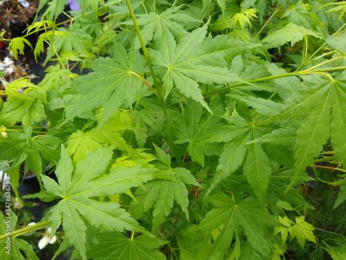 Photo Acer palmatum 'Going Green'