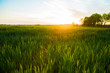 green background of grass in a meadow. agriculture field with grass for livestock feed pasture