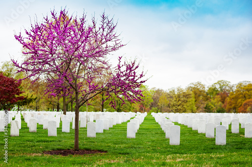 Fototapeta Rows of tombs, graves on military Arlington cemetery and blooming spring cherry tree with flowers obraz