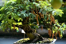 Bonsai Tree In A Garden