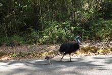 Cassowary Bird With A Chick Wa...