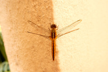 Top View Of Dragonfly Insect I...