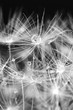 white dandelion macro texture