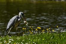 Gray Heron Hunting Fish At Lakeshore