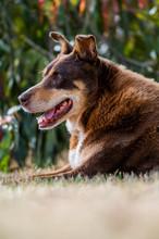 Kelpie Dogs In Victoria, Austr...