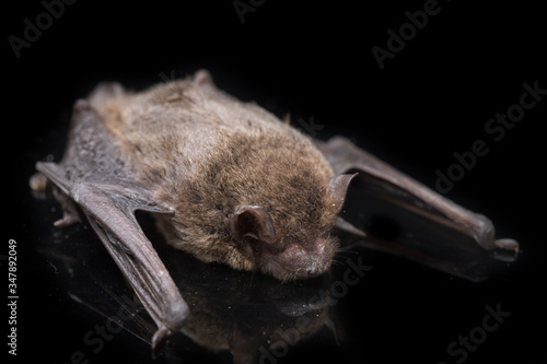 Obraz The common bent-wing bat, Schreibers' long-fingered bat, or Schreibers' bat (Miniopterus schreibersii) isolated on black background - fototapety do salonu