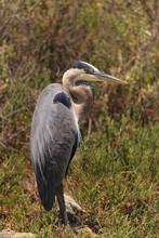 Great Blue Heron On Grassy Field