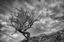 Bare Thorn Tree Against A Cloudy Sky