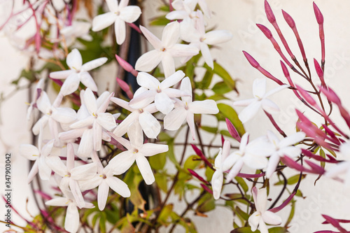 Sweetly scented white flowers of star jasmine Wallpaper Mural