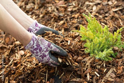 Woman gardener mulching potter thuja tree with pine tree bark mulch Fototapeta