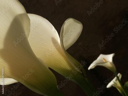 Carta da parati Close-up Of Calla Lily Blooming In Park At Night