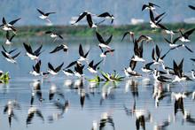 Flock Of Black Winged Stilt Birds In Flight At Dipor Bil Bird Sanctuary In Assam, India